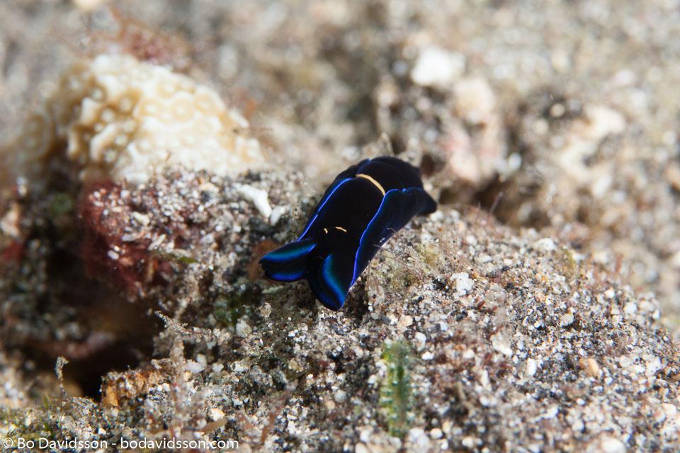 BD-130331-Tulamben-8586-Philinopsis-gardineri-(Eliot.-1903)-[Gardiner´s-headshield-slug].jpg